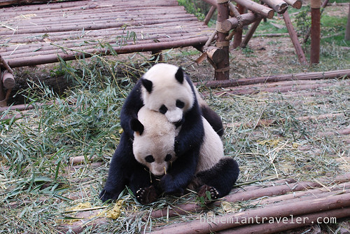 Pandas in Chengdu China 13