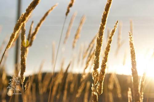 sky sun field grass gold photo sunny duncan goldenhour 2011 cowichanvalley erikpeterson