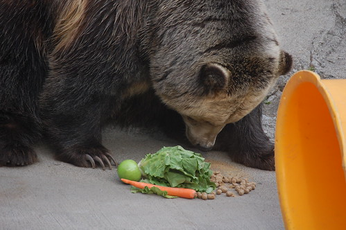 Grizzly Bear eating Salad