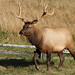 Roosevelt Elk - Photo (c) Alan Vernon, some rights reserved (CC BY)