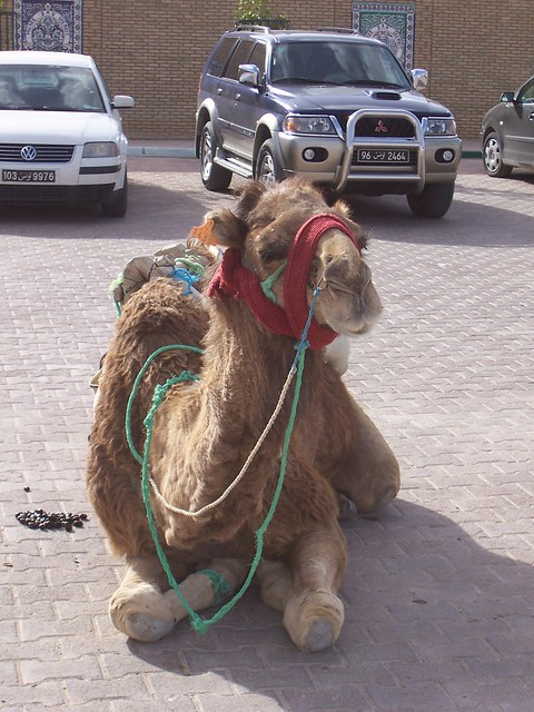 "<p>This camel was ""parked"" among cars in a parking lot in a Tunisian village.</p>"