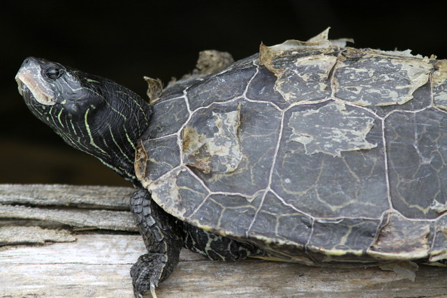 Try to be like the turtle - at ease in your own shell ...