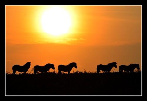 uk sunset england horses horse sun nature animal animals silhouette silhouettes somerset pony ponies moorland quantocks quantockhills exmoorpony topshots abigfave exmoorponies natureselegantshots saariysqualitypictures blinkagain