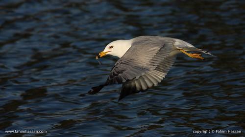 Ring-billed Gull - radiating spirit from wings