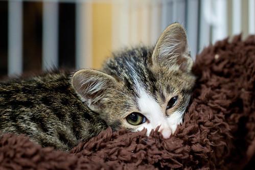 Cat, Tigrasha