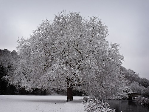 Snow covered tree by the river Itchen