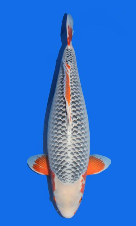 Oya Asagi 78cm