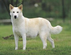 dog breed, animal, west siberian laika, akita, dog, canaan dog, pet, norwegian buhund, white shepherd, east siberian laika, berger blanc suisse, greenland dog, kishu, northern inuit dog, korean jindo dog, wolfdog, norwegian lundehund, carnivoran,