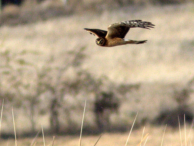 Northern Harrier 20111110