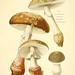 Atlas des champignons comestibles et vénéneux