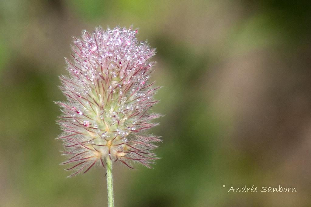 Rabbitfoot Clover (Trifolium arvense)-2.jpg