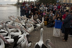 Pelicans at Attention