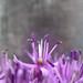 Small photo of Allium violet