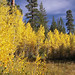 Young Aspen Grove In Full Color 4237