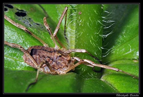 Faucheur épineux (Odiellus spinosus)