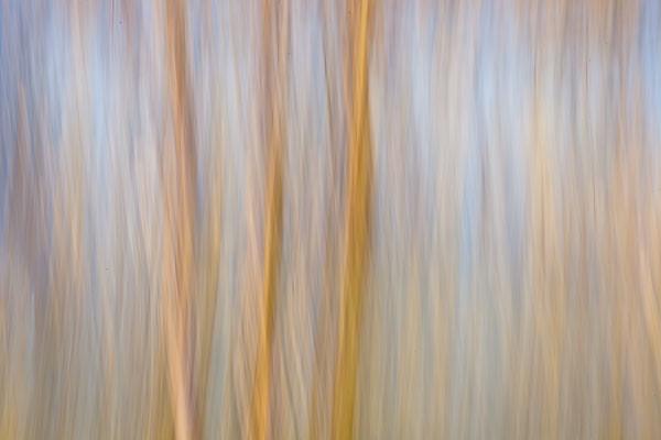 Paper Birches in Sunlight