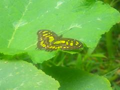 Mariposa que                                                 vino atraída por la composta