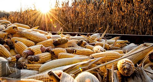 ohio sunrise corn cornfield morristownephotography