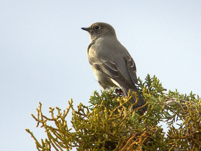 Townsends Solitaire 3-20111113