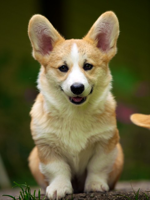 Corgi Puppies 95 Flickr Photo Sharing