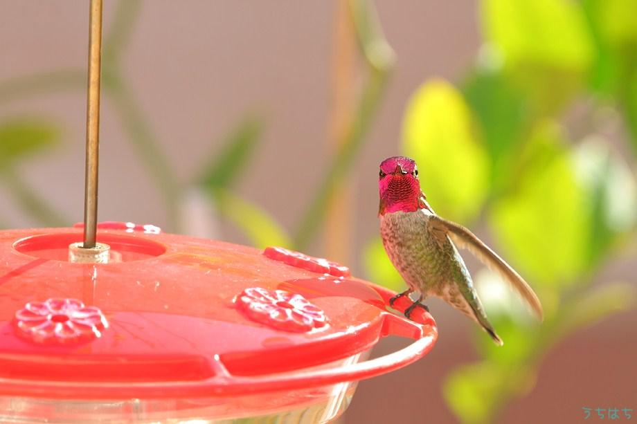 Anna's Hummingbird 112211-2