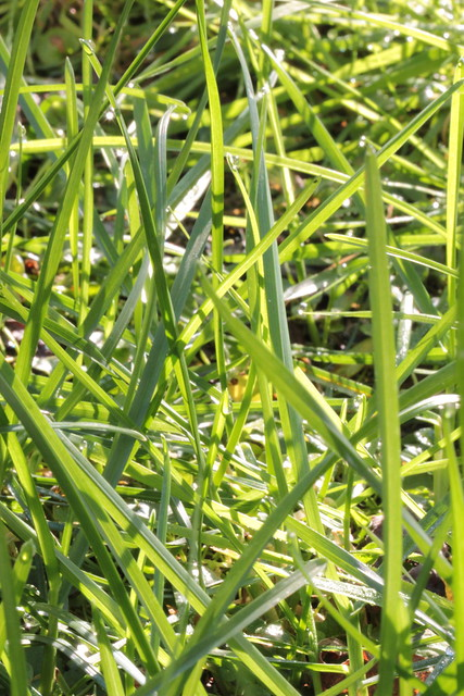 dew in the grass
