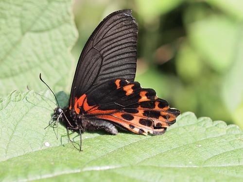 溺水的台灣鳳蝶