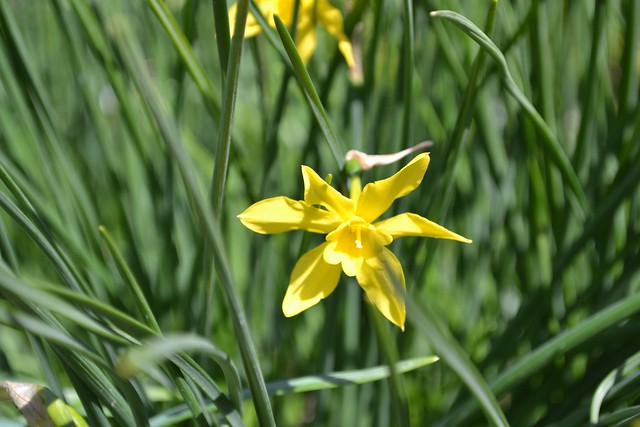 Naricissus x odoros (Campernelle Jonquil), an example of a jonquilla (Division 7) daffodil. Photo by Elizabeth Peters.