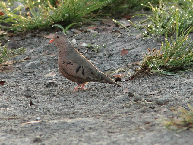 Common Ground-Dove 20120325