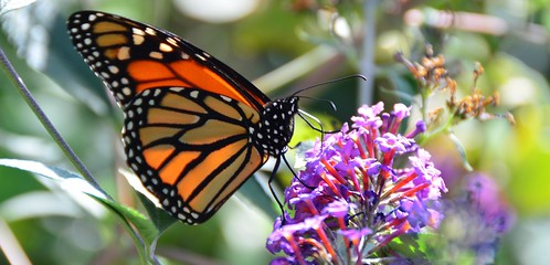 a monarch in new york city (photo no.1) ------- viewed 492x