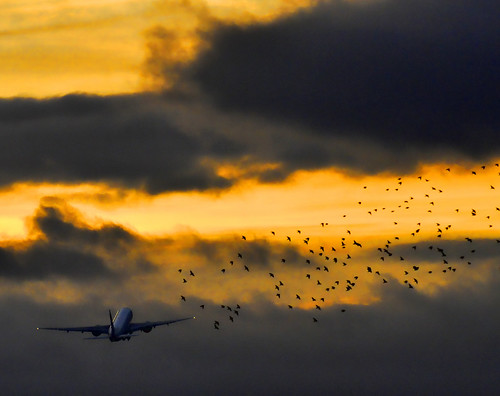 london heathrowairport flockofbirds october2011 airlinetakeoff