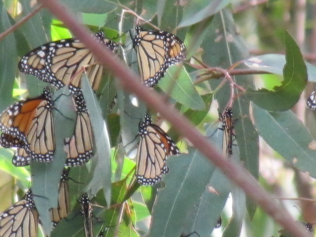 Monarch butterflies in eucalyptus trees at Monarch Grove Sanctuary