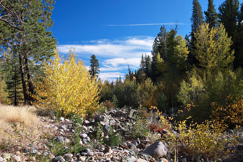 california county autumn red orange mountain green fall leaves yellow pine canon mono golden photo leaf bed stream poplar sierra foliage willow photograph aspen ponderosa placer quaking highway89 trembling populus highway80 quakies 50d tremuloides truckie