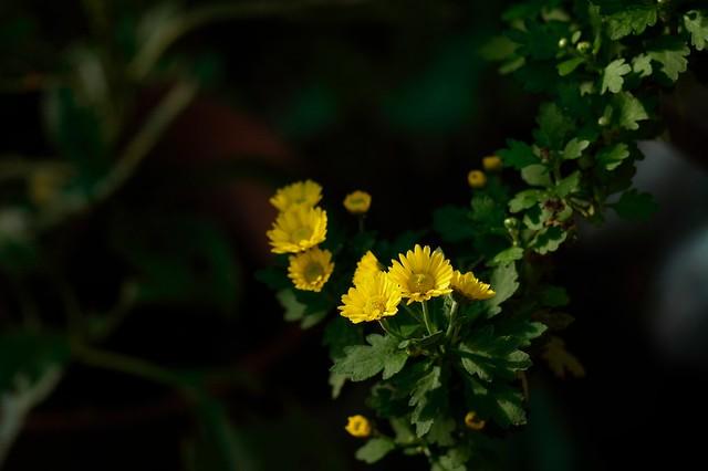 小菊 (Small chrysanthemum)