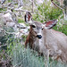 Grand Canyon Mule Deer