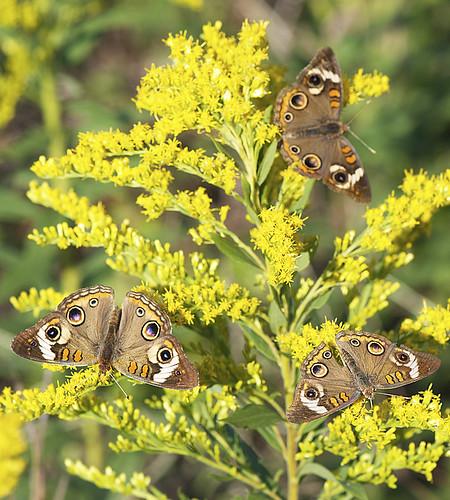 commonbuckeye junoniacoenia kiptopekestatepark photographybydavewendelken commonbuckeyesongoldenrod