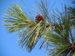 Pinus ponderosa, west slope Ponderosa pine