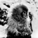 le petit boy / Nihon Zaru / Snow Monkey