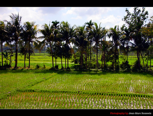 trees sky tree green colors clouds canon indonesia rice palmtree fields lombok paddyfields canon7d