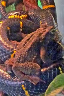 Borneo River Toad on Mangrove Snake AOS GGP 111030-154315B