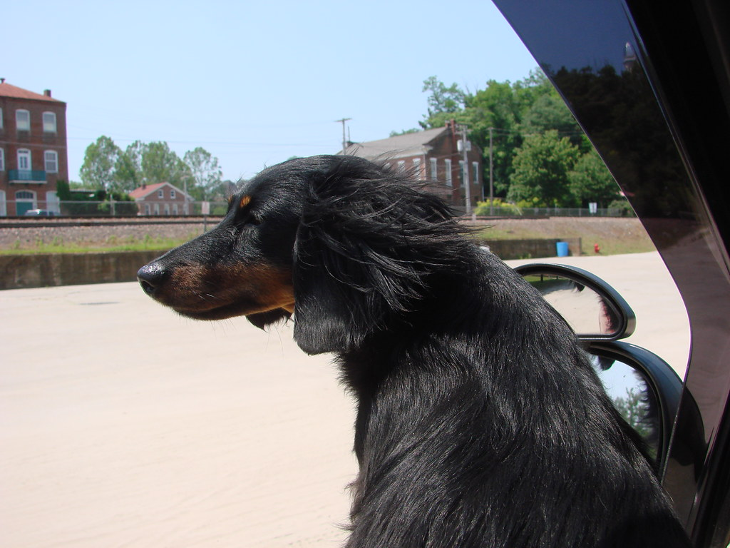 Miniature Dachshund Puppies For Sale In Nc For Sale In Nc