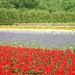 Farm Tomita, Furano