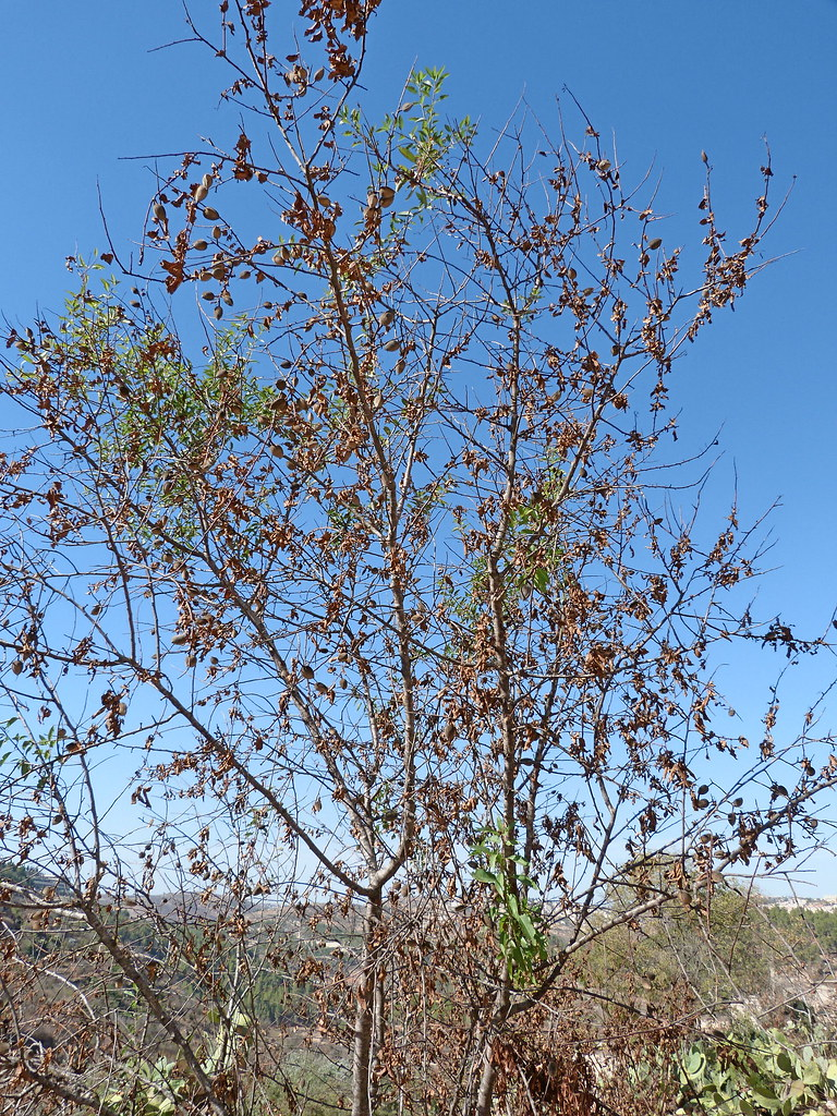 11-11-2011-lifta-almond-tree