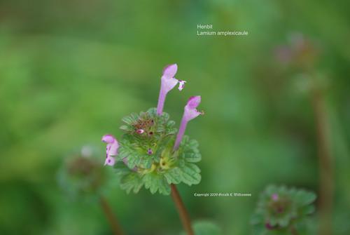 Henbit, Henbit Deadnettle - Lamium amplexicaule