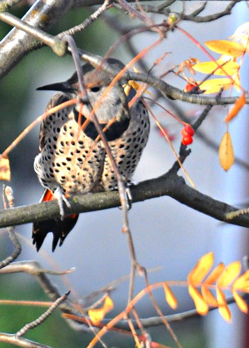 11-20-11 Northern Flicker by roswellsgirl