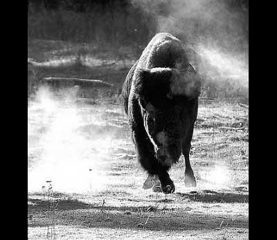 Ranch Trophy Mountain Buffalo (Parc Wells Gray, Colombie-Britannique, Canada)