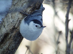 White-breasted Nuthatch, Armstrong Twp., Indiana Co., PA
