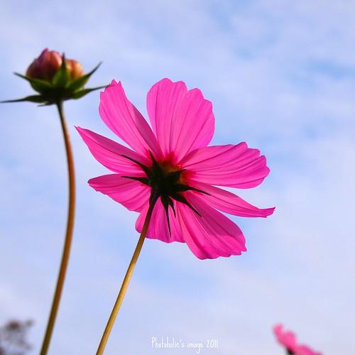 autumn sky plant flower nature bud cosmos olympuspenep2 mzuikodigital1442mmf3556iir gettyimagesjapanq4