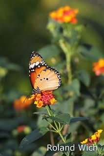 Angkor - Butterfly Garden