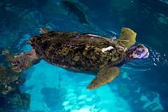 Sea Turtle, Boston Aquarium